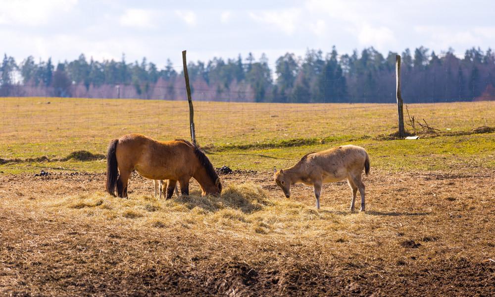 Przewalski horse and david's deer