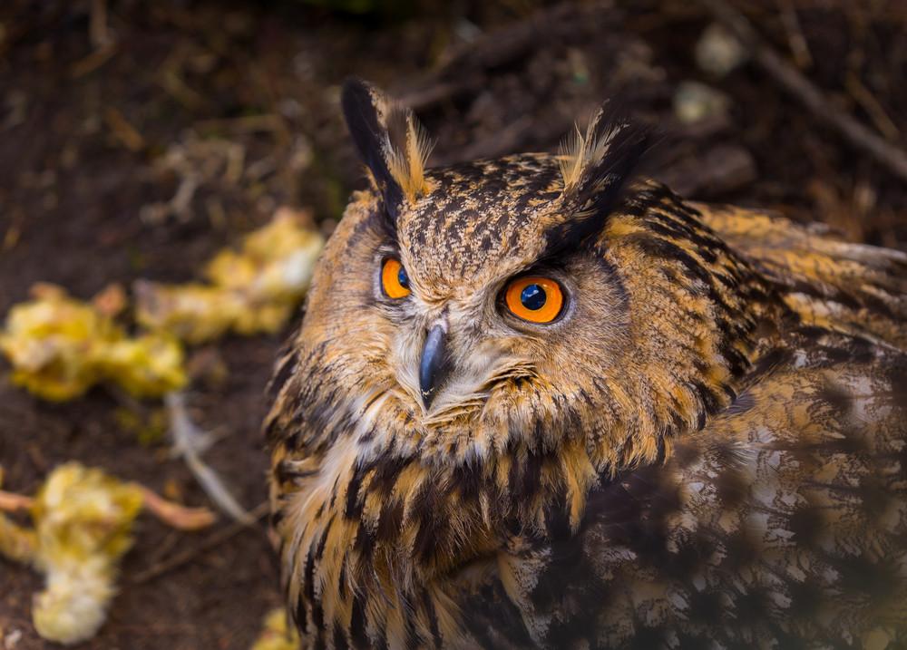 Beautiful big eagle-owl portrait