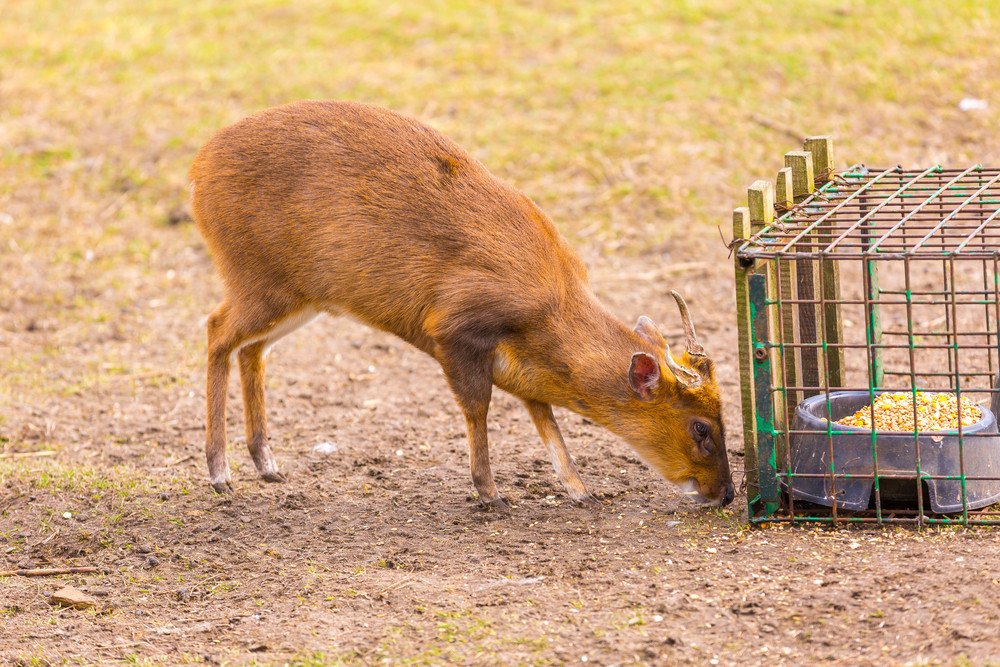 Indian muntjac photographed in animal park
