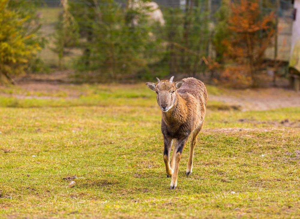 Mouflon female standing on grass