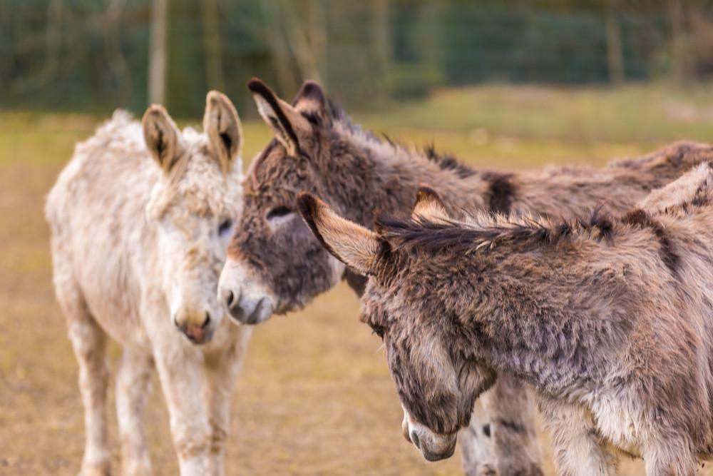 Donkey (Equus asinus)