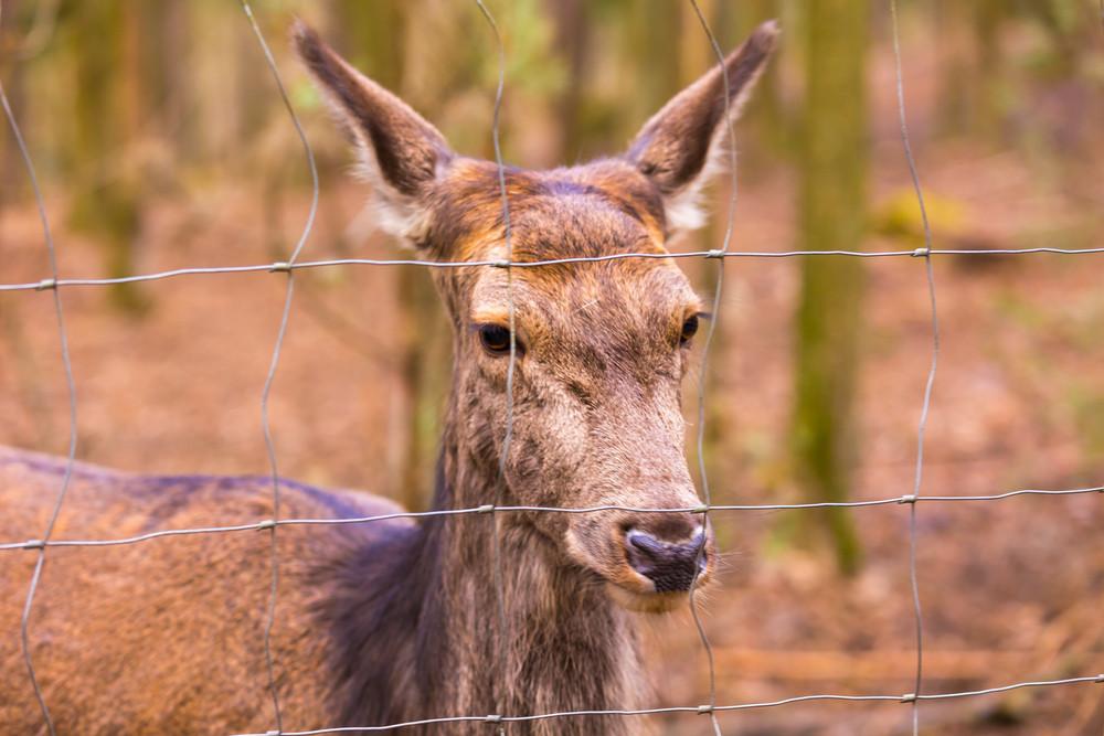 Deer potrait