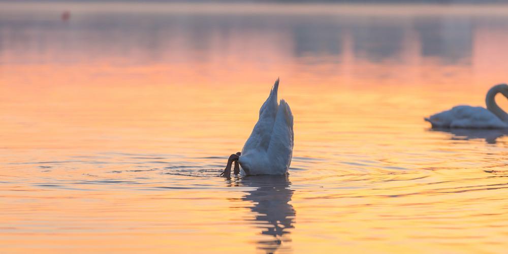 Swan swimming in lake in morning light