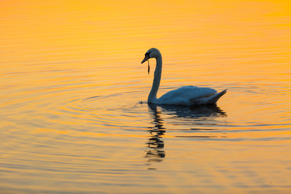 Swan swimming in lake in morning light