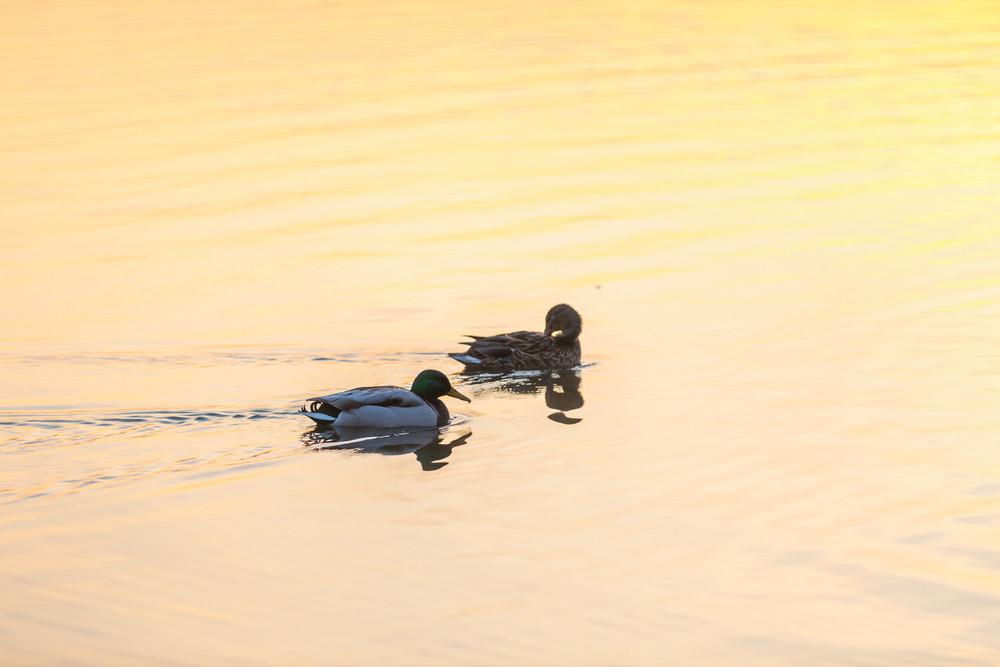 Pair of mallard ducks swimming in lake
