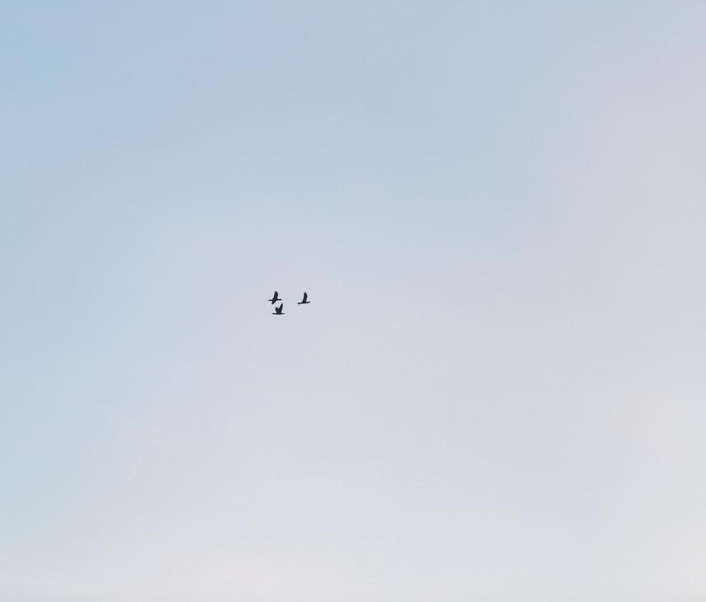 Cormorant fly on blue sky background