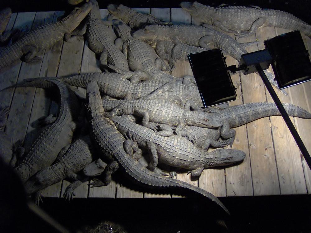 Lazy Pile of Gators