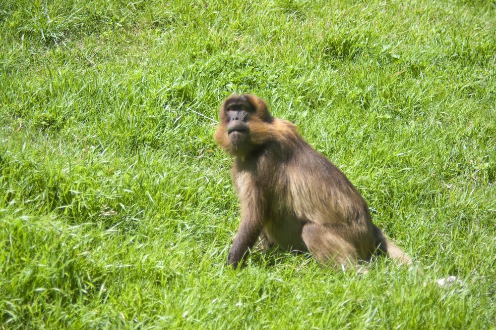 Um babuíno que pasta em um campo verde sozinho.