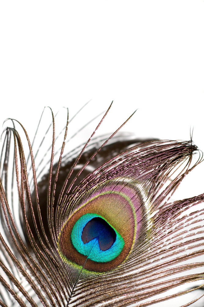 A beautiful peacock feather isolated over white.