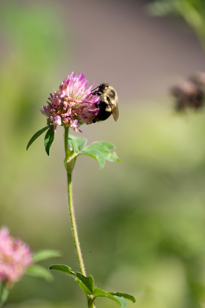 A bumble bee collecting pollen on a flower.  Shallow depth of field.