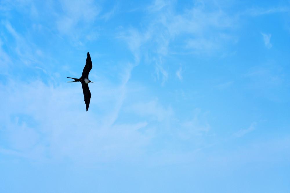 A Caribbean frigate bird flying through the sky high above the tropical sea.