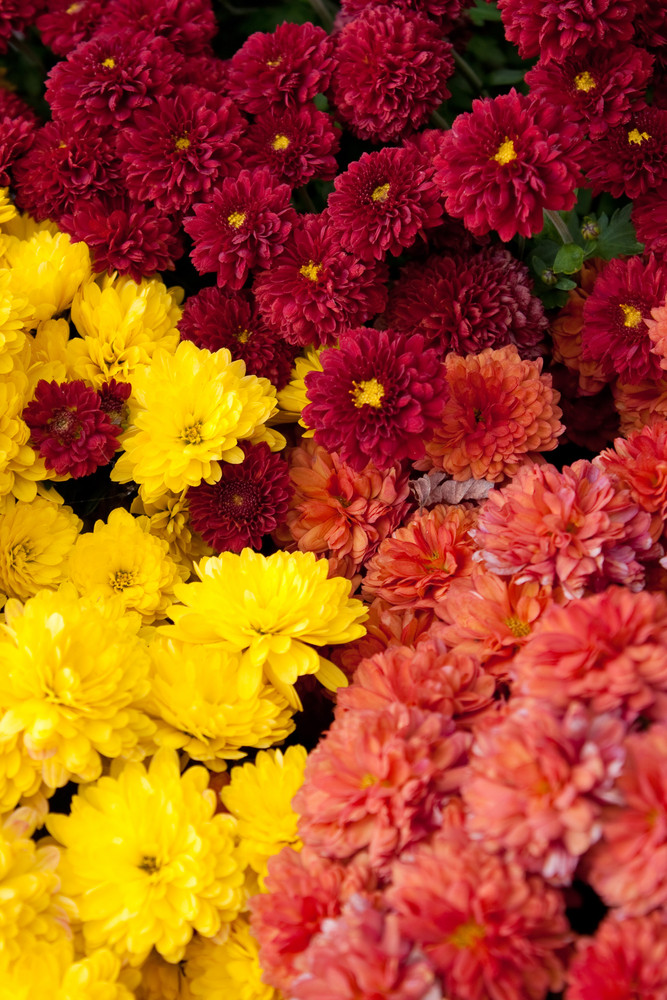 A closeup of a group of chrysanthemum flowers that peak during the fall months. Shallow depth of field.