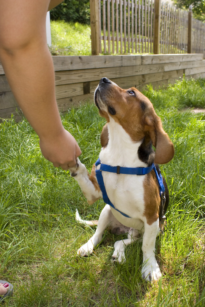 A cute young beagle puppy giving his paw to his owner.