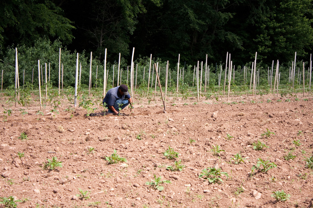 A farm laborer or farmer planting tomato plants in rows in the field.