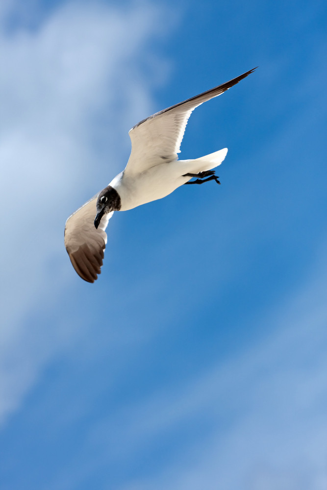 A large Caribbean seagull flying over a cloudy blue sky.