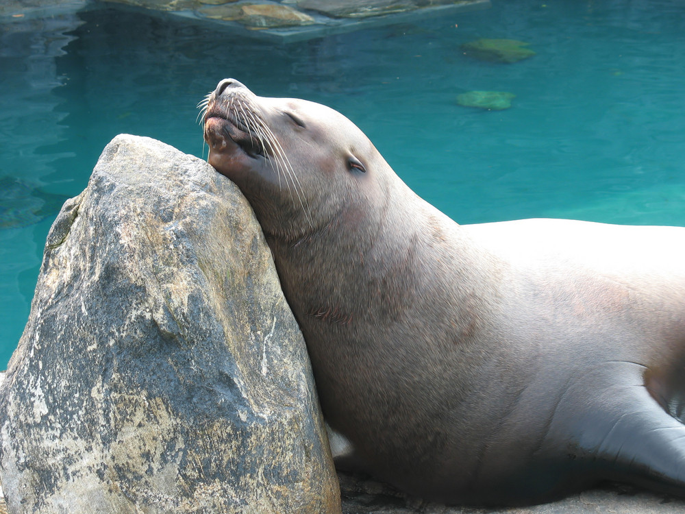A large sea lion sunning himself on a rock.  A gentle giant.