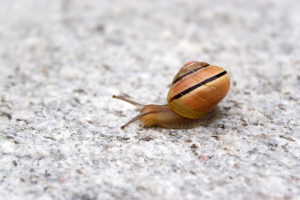 A lone sea snail moving along on a rock.