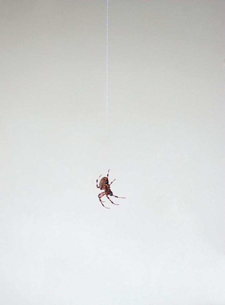 A macro shot of a spider hanging from a thread.  This type of spider is common to the northeast United States.