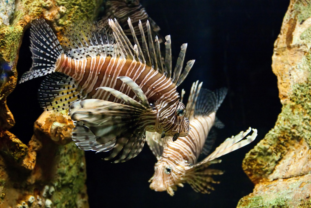 A pair of Lion Fish.  The are dangerous to divers and fishermen with their venomous spines and tentacles.
