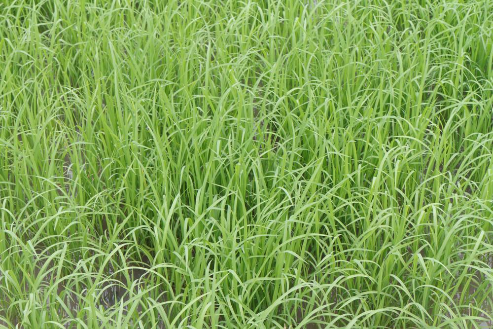 A Photo Of Rice Farm