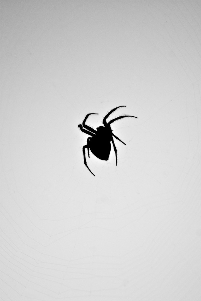 A silhouette of a spider in its web. This type of spider is common to the northeast United States.