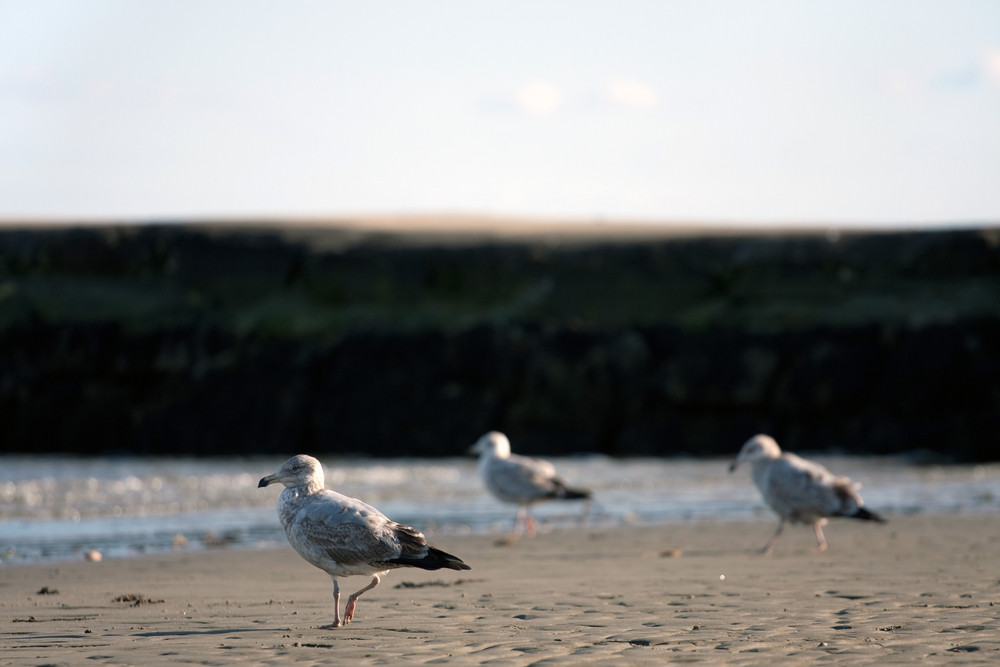 A trio of seagulls standing on the sea shore by the jetty at low tide. Shallow depth of field.