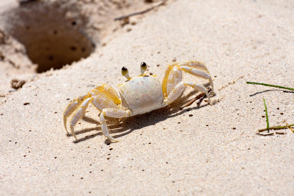 A tropical yellow Caribbean crab standing near the hole in the sand it burrows into.