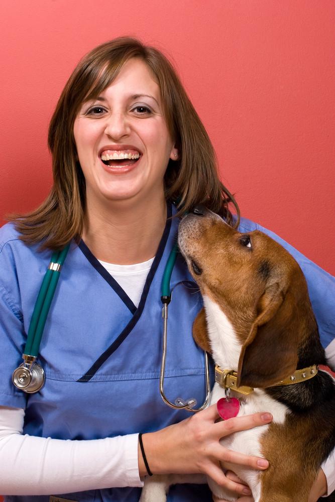A veterinarian checking out a beagle dog.