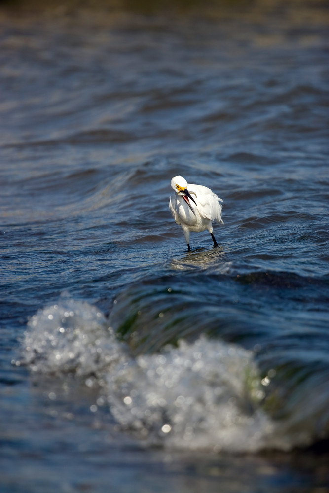 A white snowy egret bird hunting for minnows by the sea shore.  It caught a small fish and has it in its mouth.