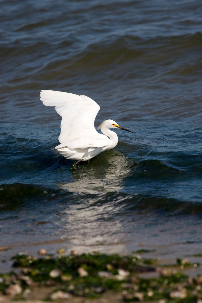A white snowy egret bird with its wings spread while hunting for minnows.
