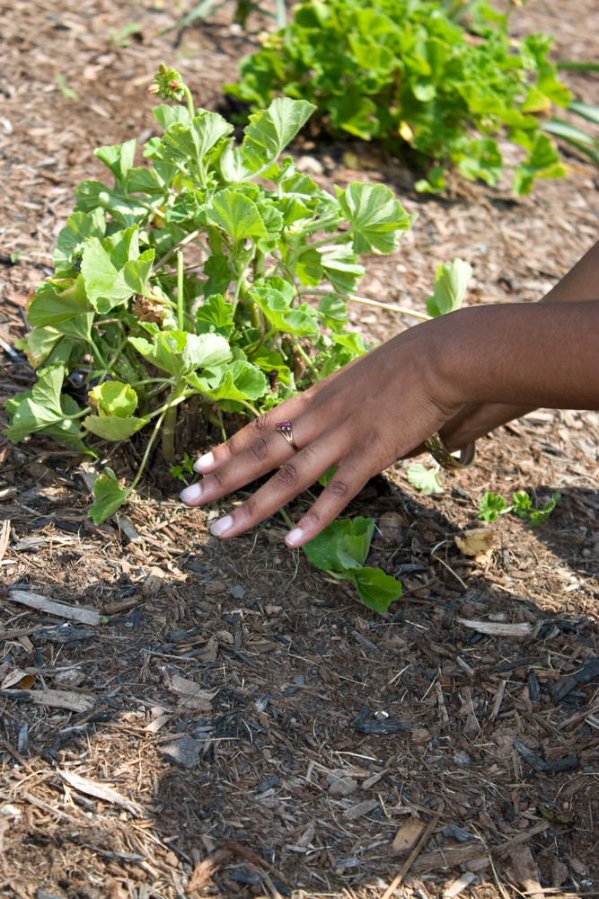 A womans hands planting in the garden.