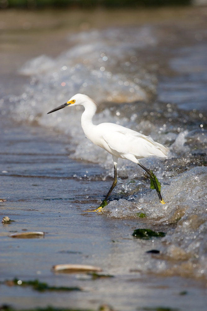 A young snowy egret bird walking along the beach hunting for a meal.