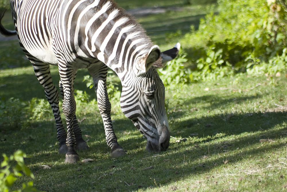 A zebra grazing on the green grass.