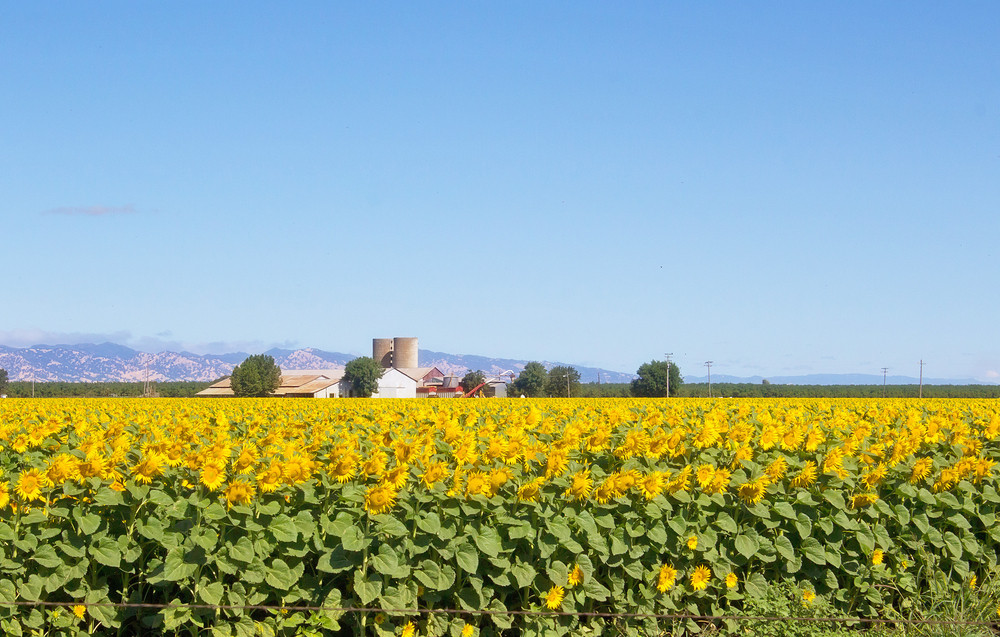 Agriculture Sunflowers