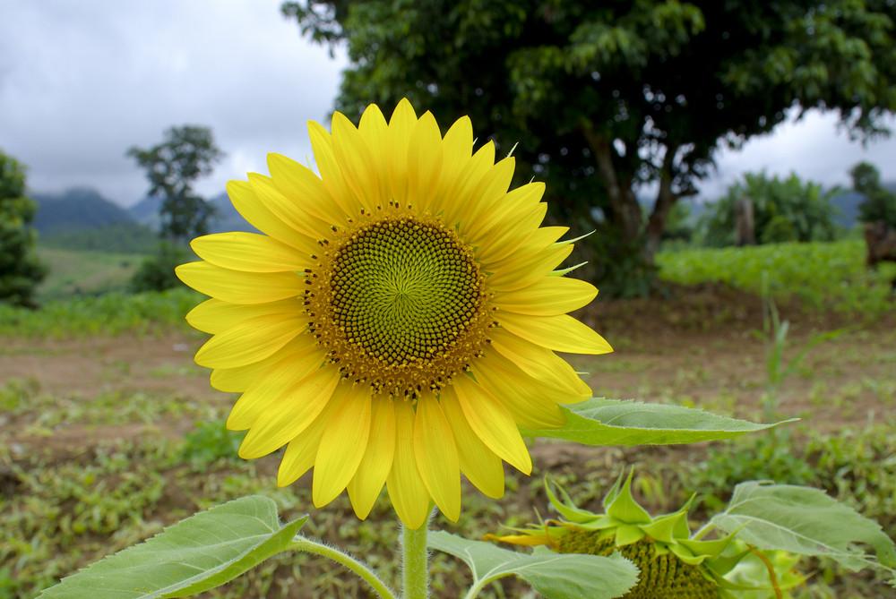 Alone sunflower field