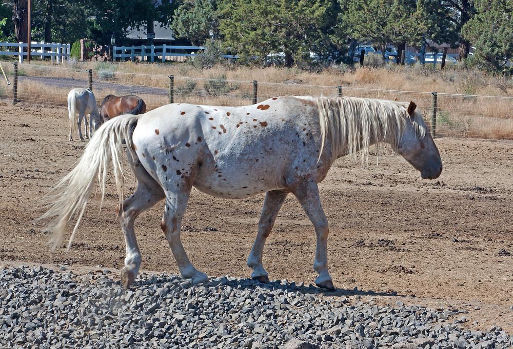 Appaloosa Gelding Horse