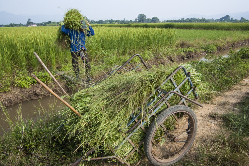 Asian farmer working with rice plant