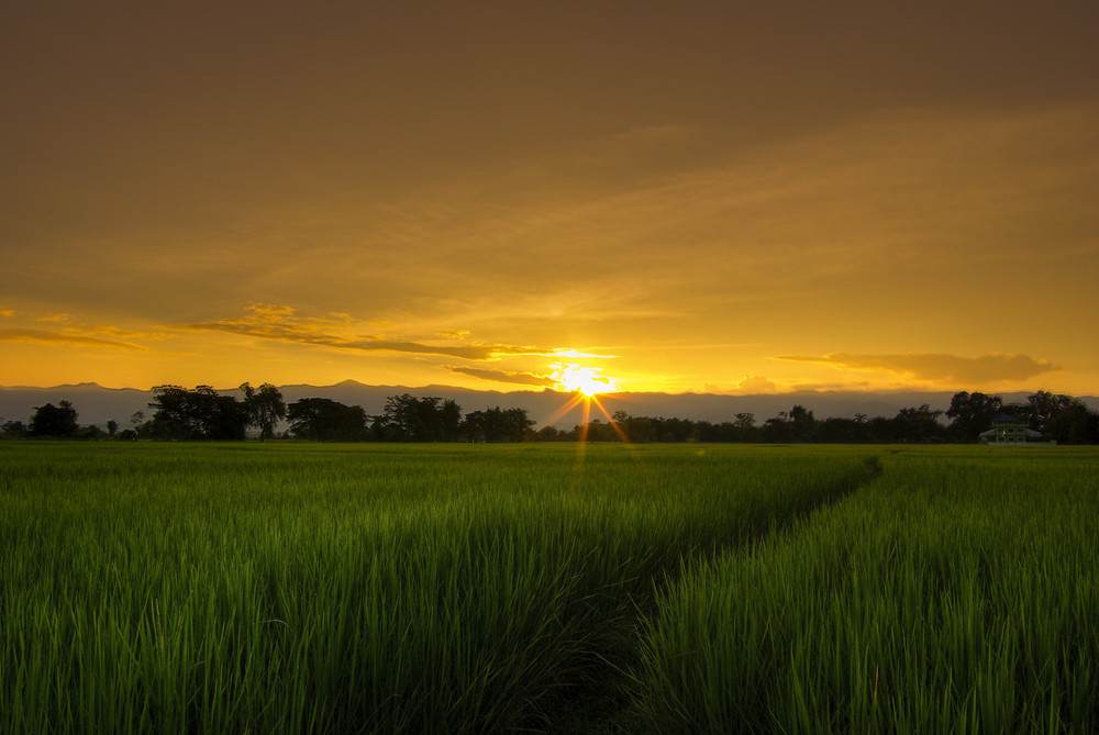 Asian rice field at sunset or sunrise