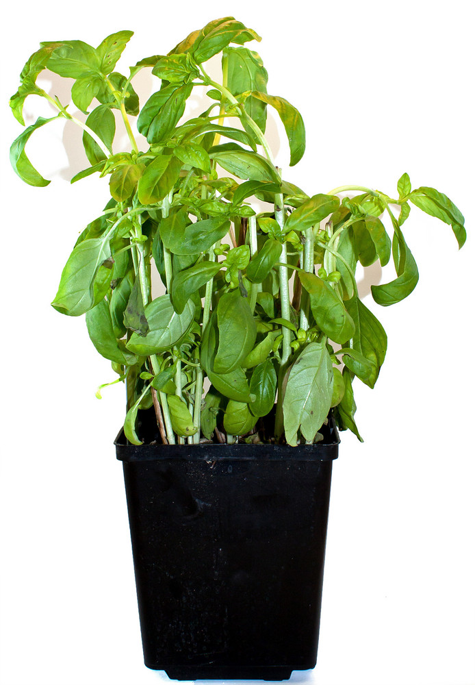 Basil Potted Plant