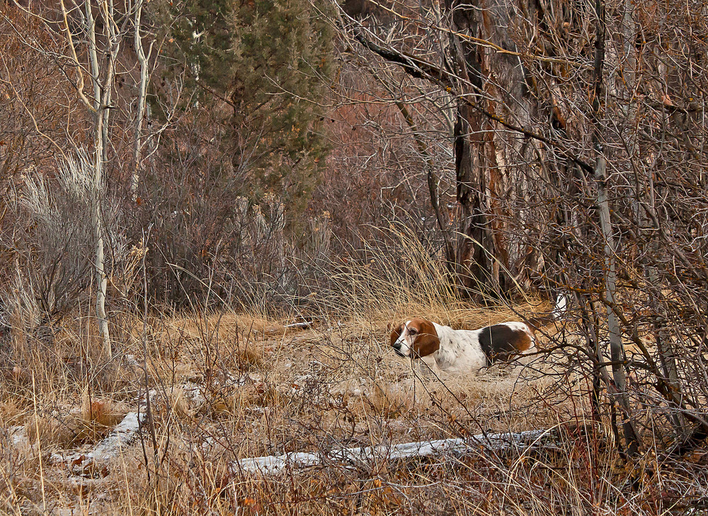 Basset Hound Dog In Forest