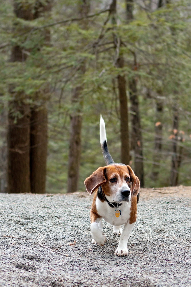 Beagle hunting dog running through the woods following a scent.
