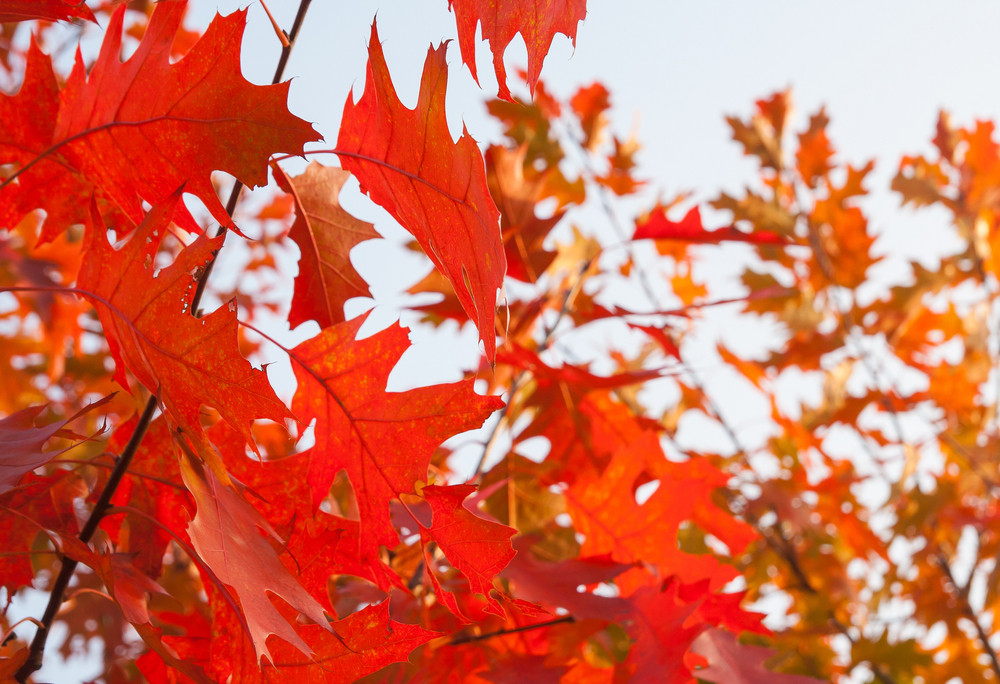 Beautiful background of red oak leaves at autumn
