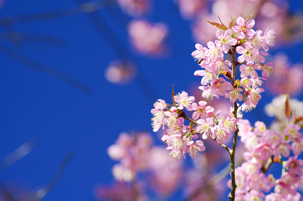 Beautiful pink cherry blossom