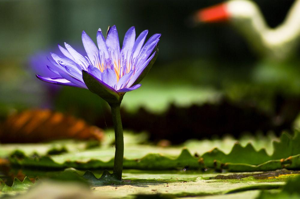 Beautiful Purple Lotus in pool