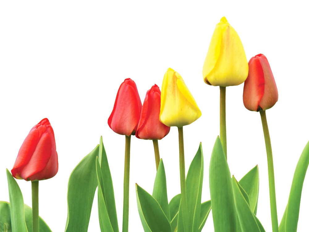 Beautiful Red And Yellow Tulips Isolated On White