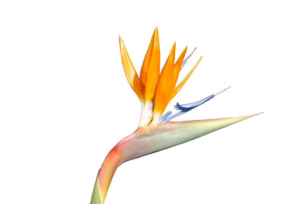 Beautiful Strelitzia Flower (isolated Over White)