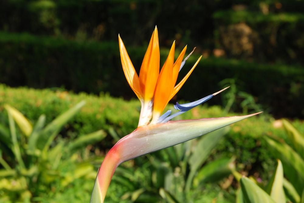 Beautiful Strelitzia Flower