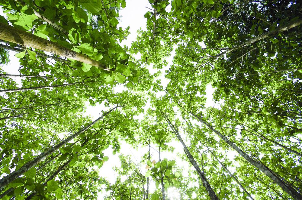 Beech canopy ant view at green season