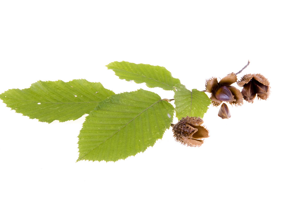 Beech Leaves With Nuts