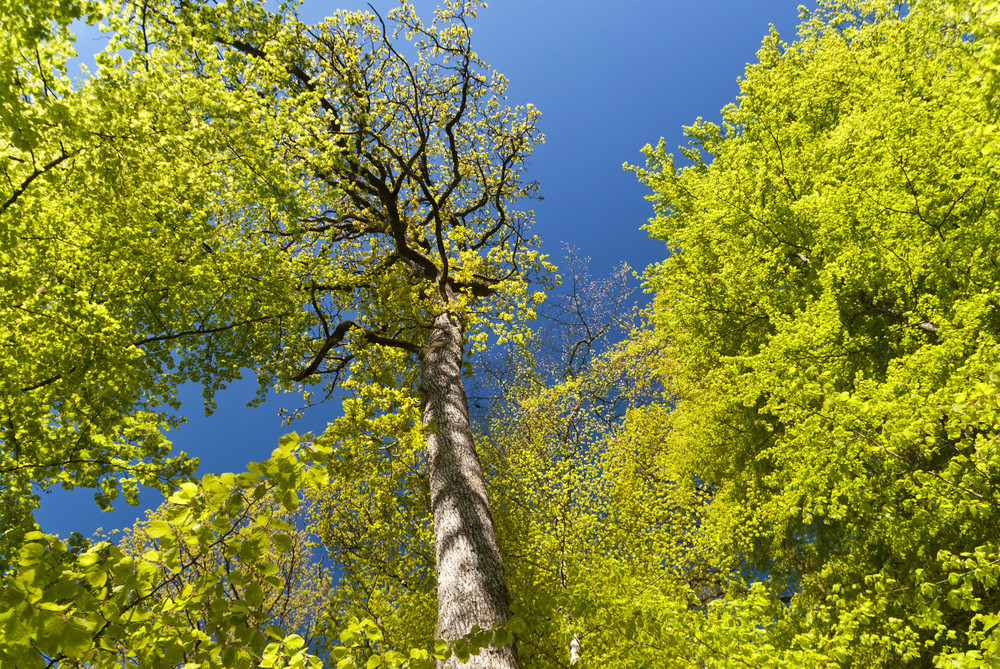 Beech Trees In The Eifel